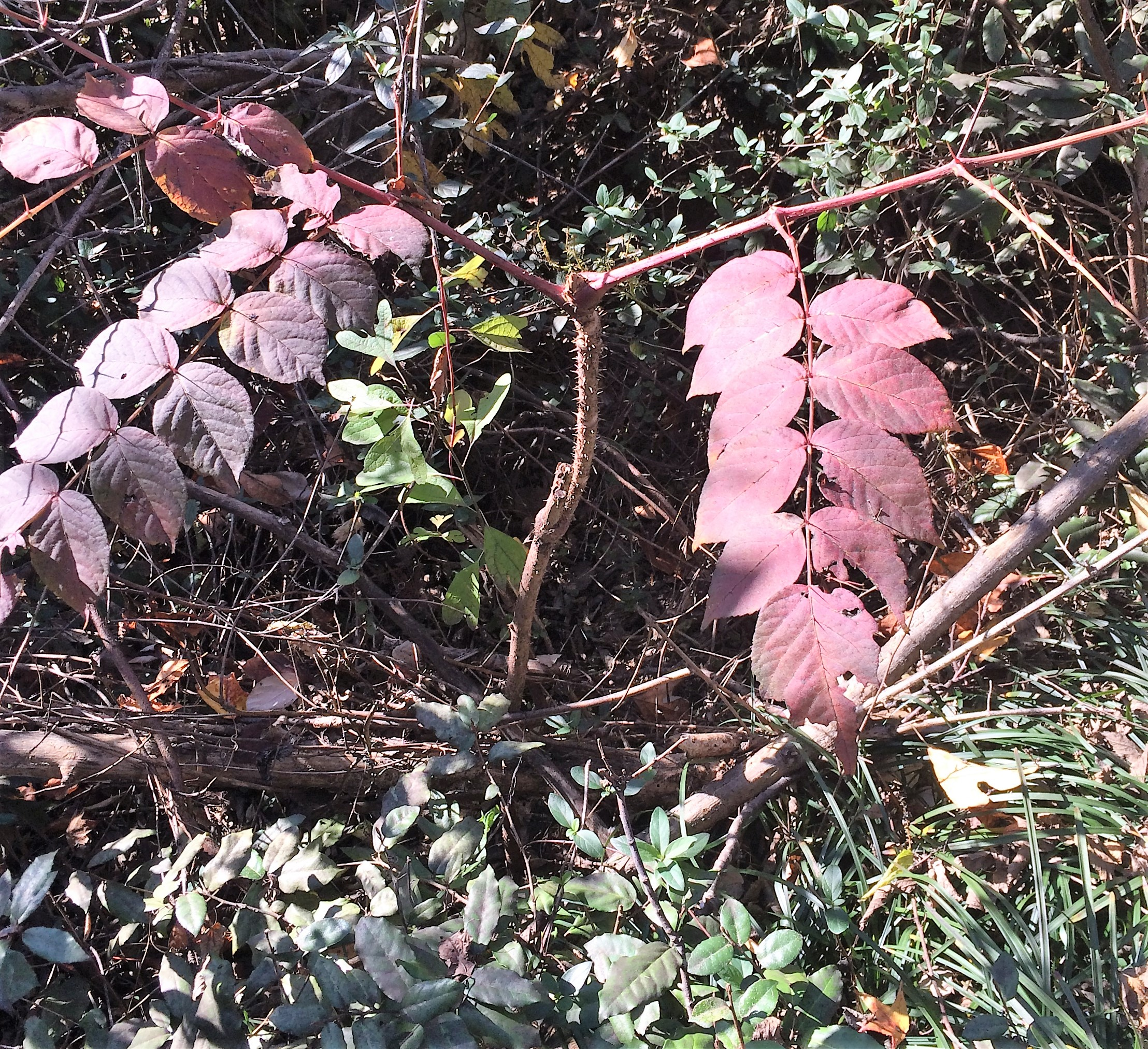 Shrubs with purple flowers at end of branch - Alternate Red Purple Shrub With Leaves Twice Thrice Pinnately Compound With Toothed Leaflets Long Stem And Twigs Having Many Thorns