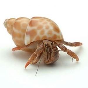 hermit_crab_350