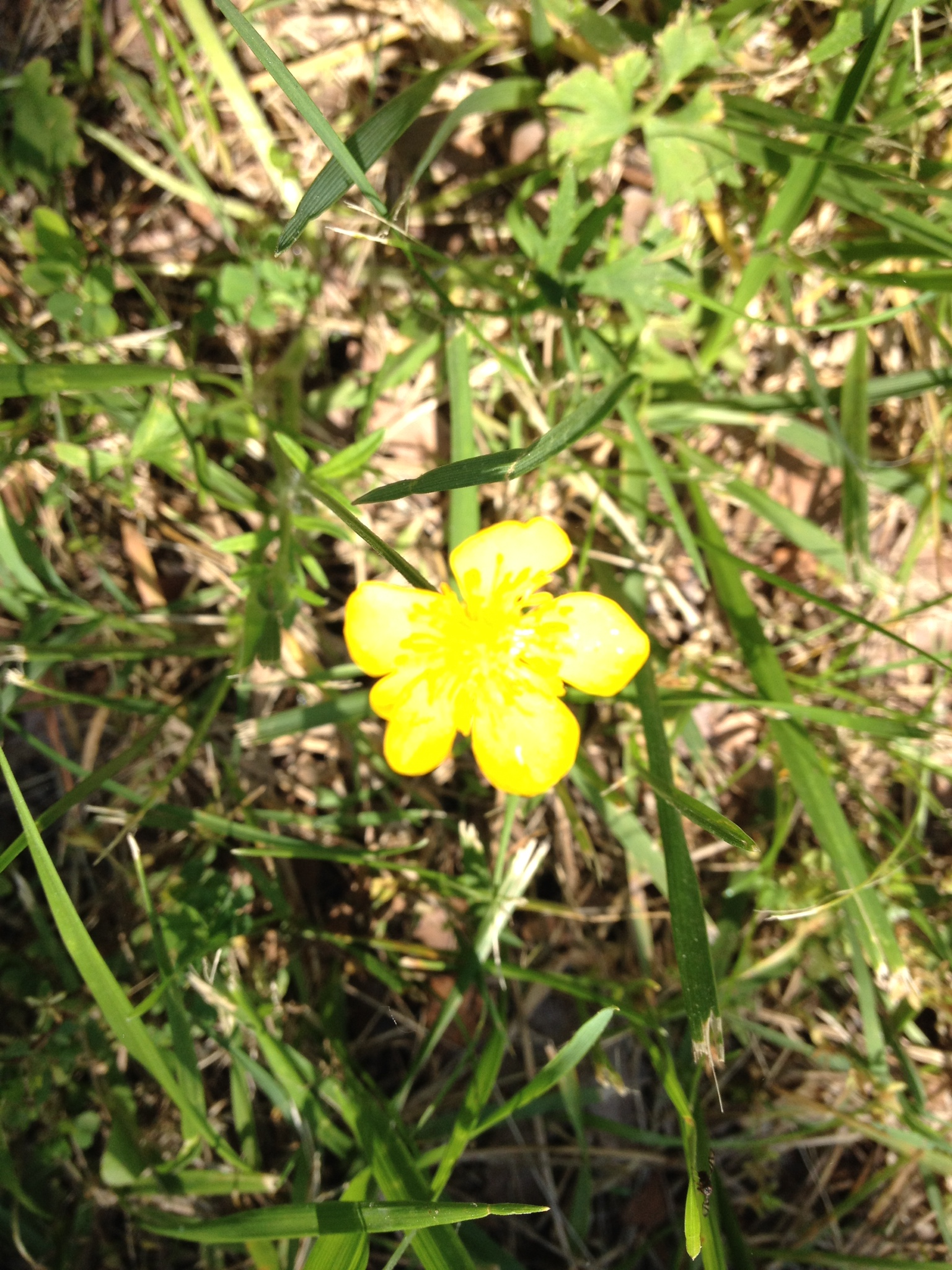 Buttercup vcu field botany official site belle isle flowers herbaceous location type yellow buttercup mightylinksfo