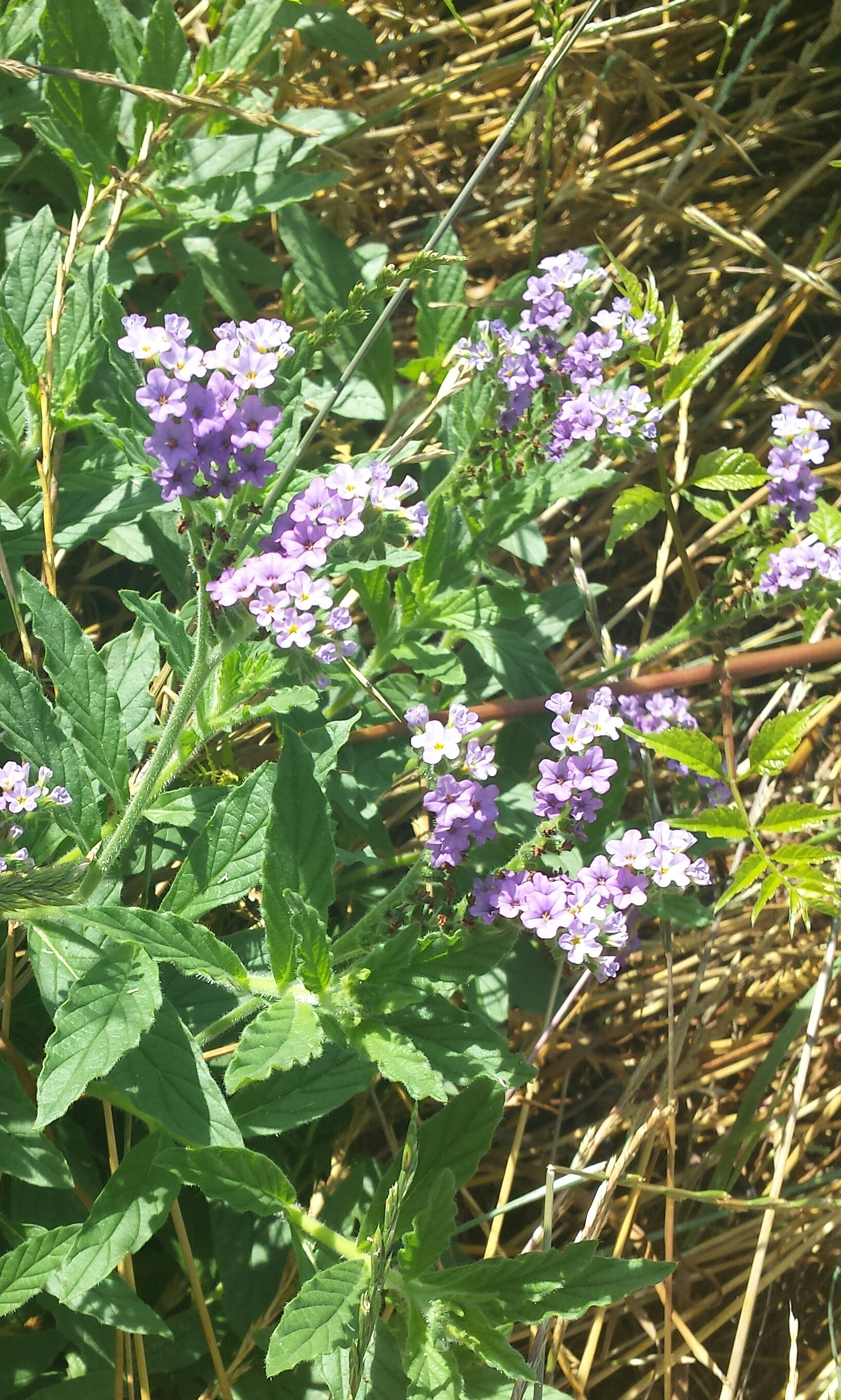 Purple verbena vcu field botany official site flowers herbaceous location north bank trail purple type mightylinksfo
