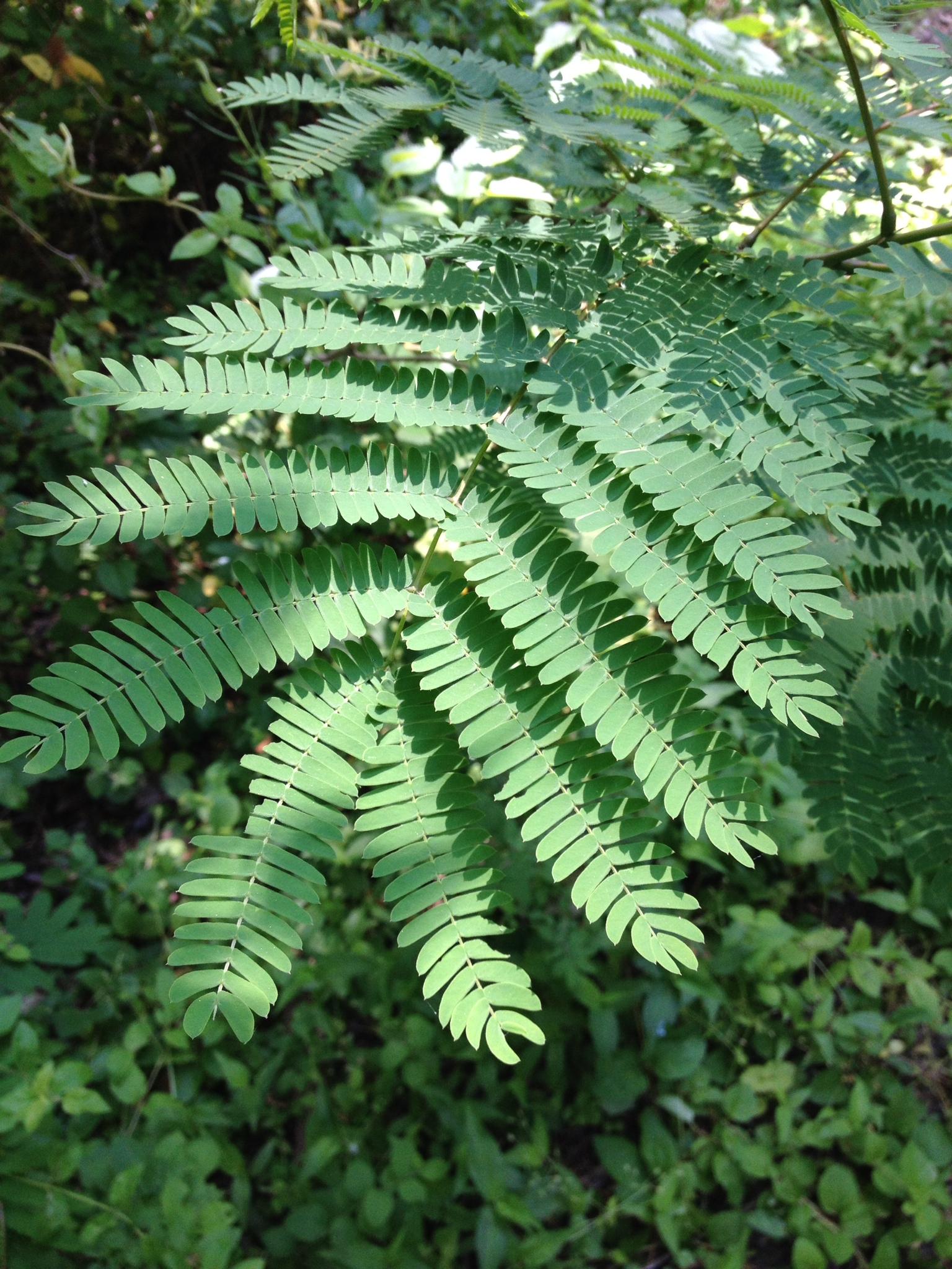 Mimosa Invasive Fbmn14