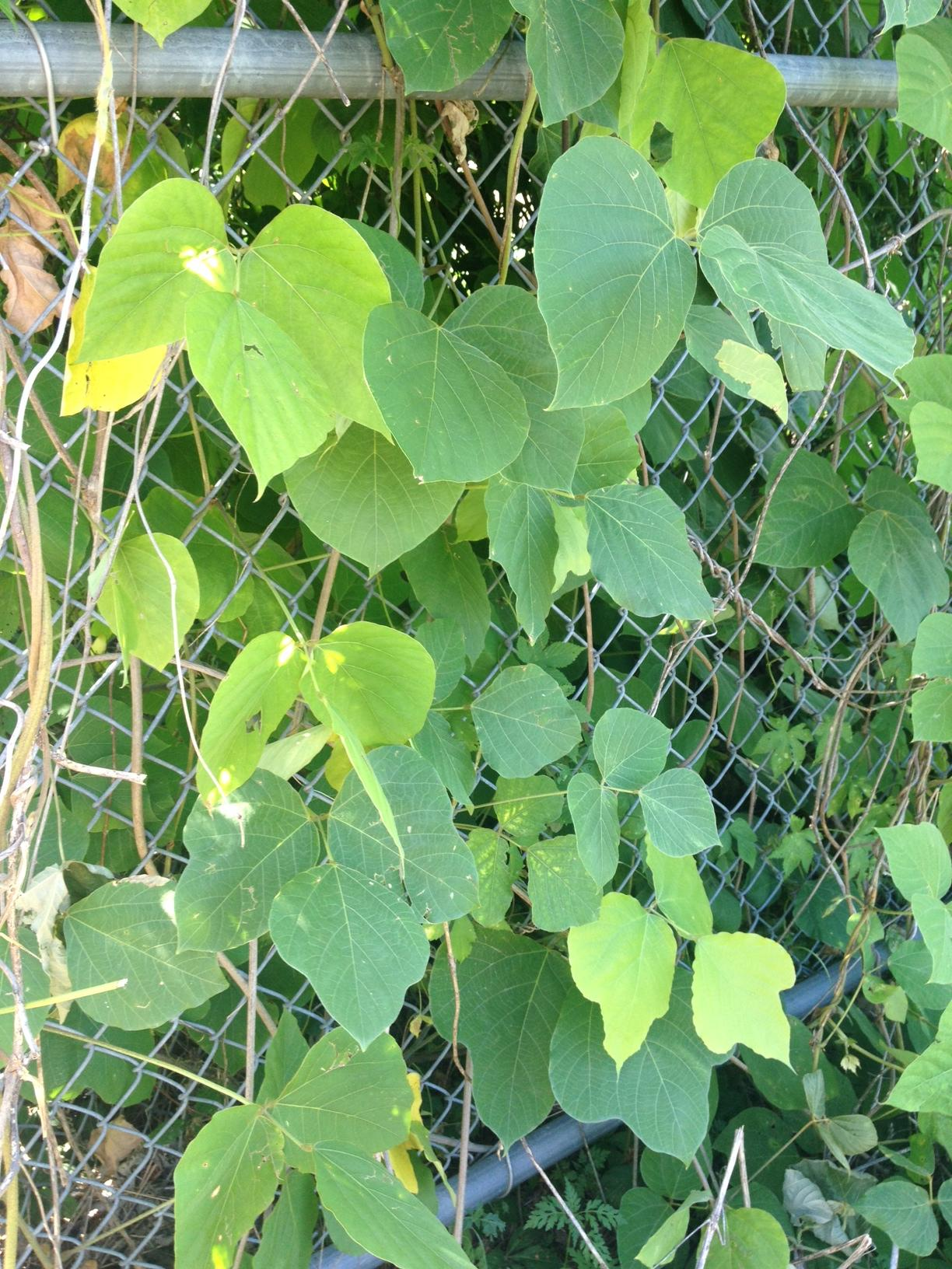 Kudzu Vine – VCU Field Botany **Official Site**  Kudzu Vine – ...