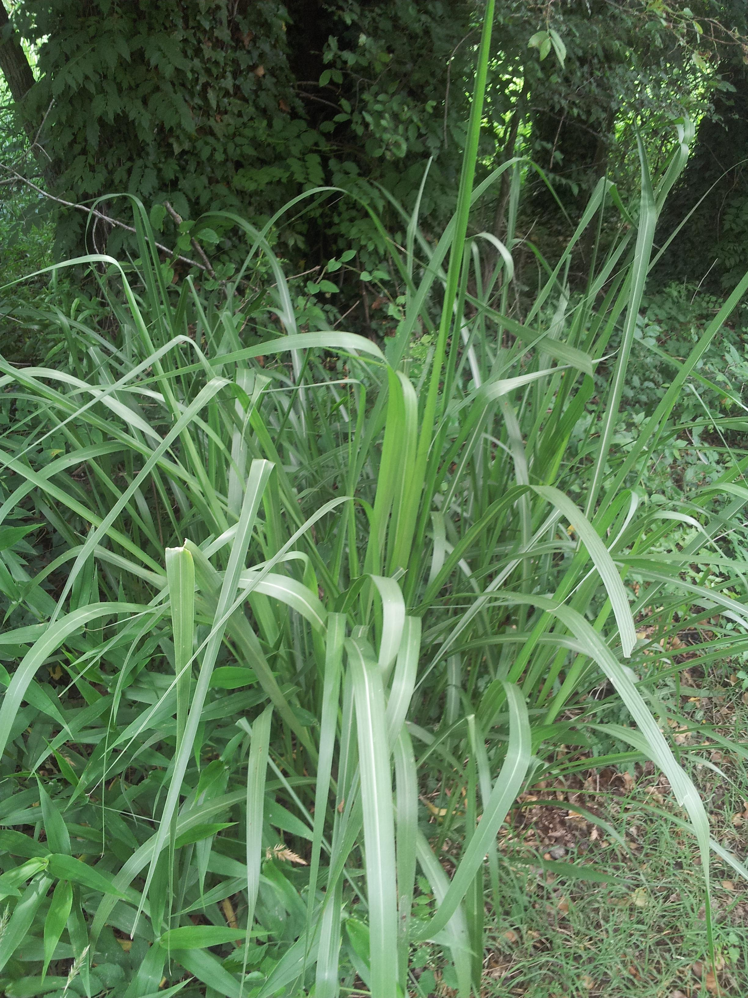 Grasses sedges a guide to virginia plant species for Tall ornamental grasses that grow in shade