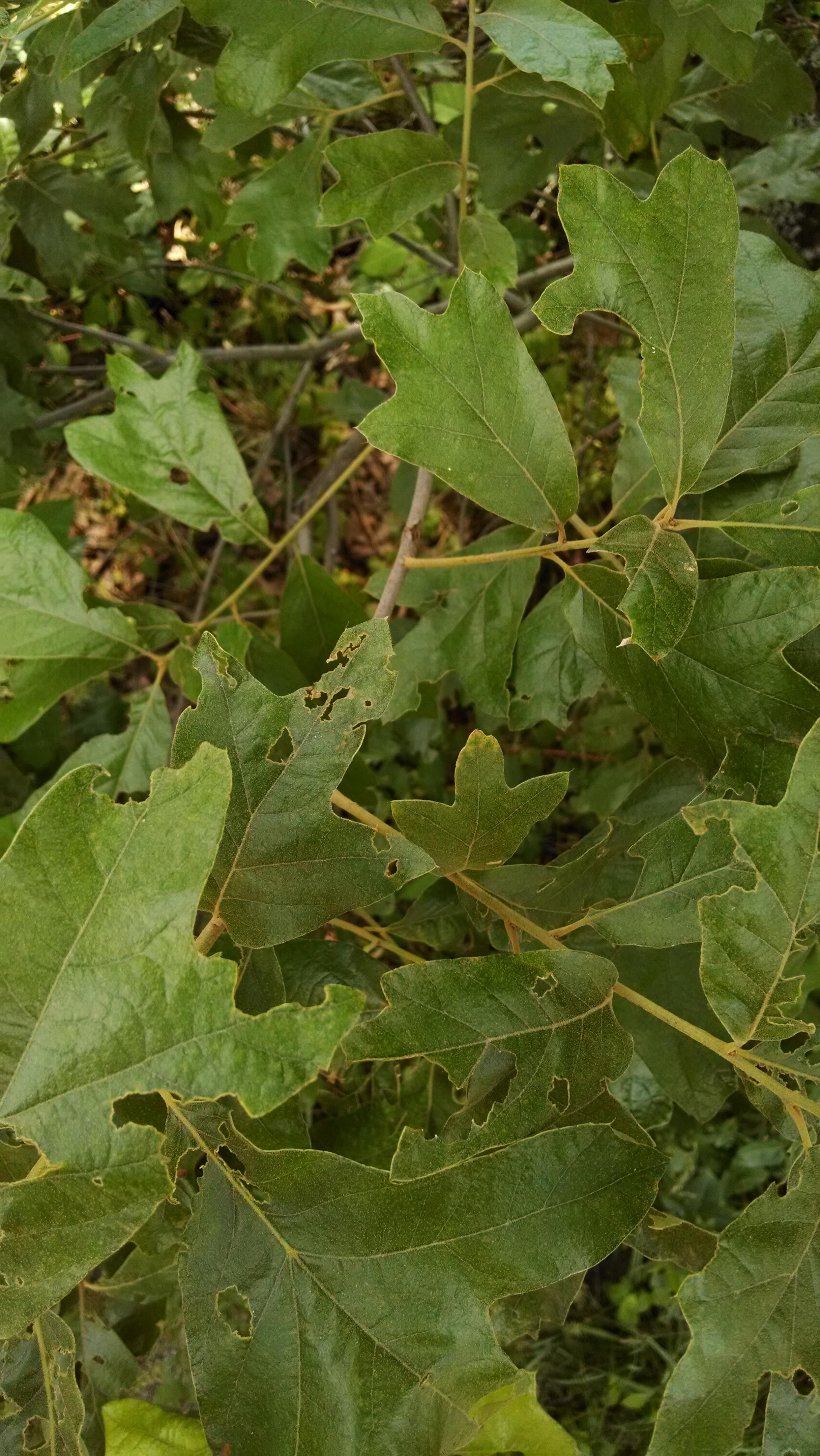Water oak tree fbrx