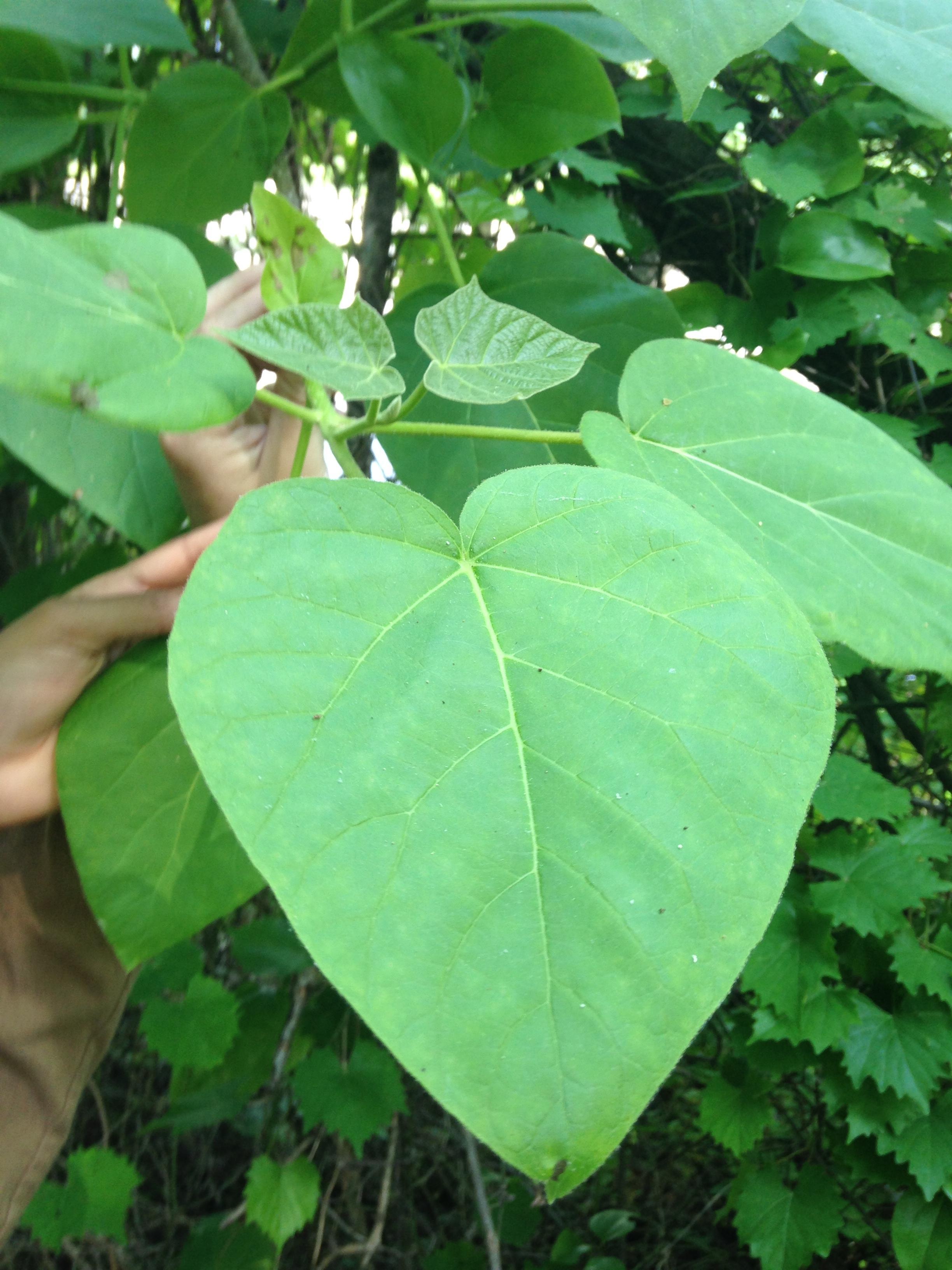 Royal Paulownia Botany Field Notebook