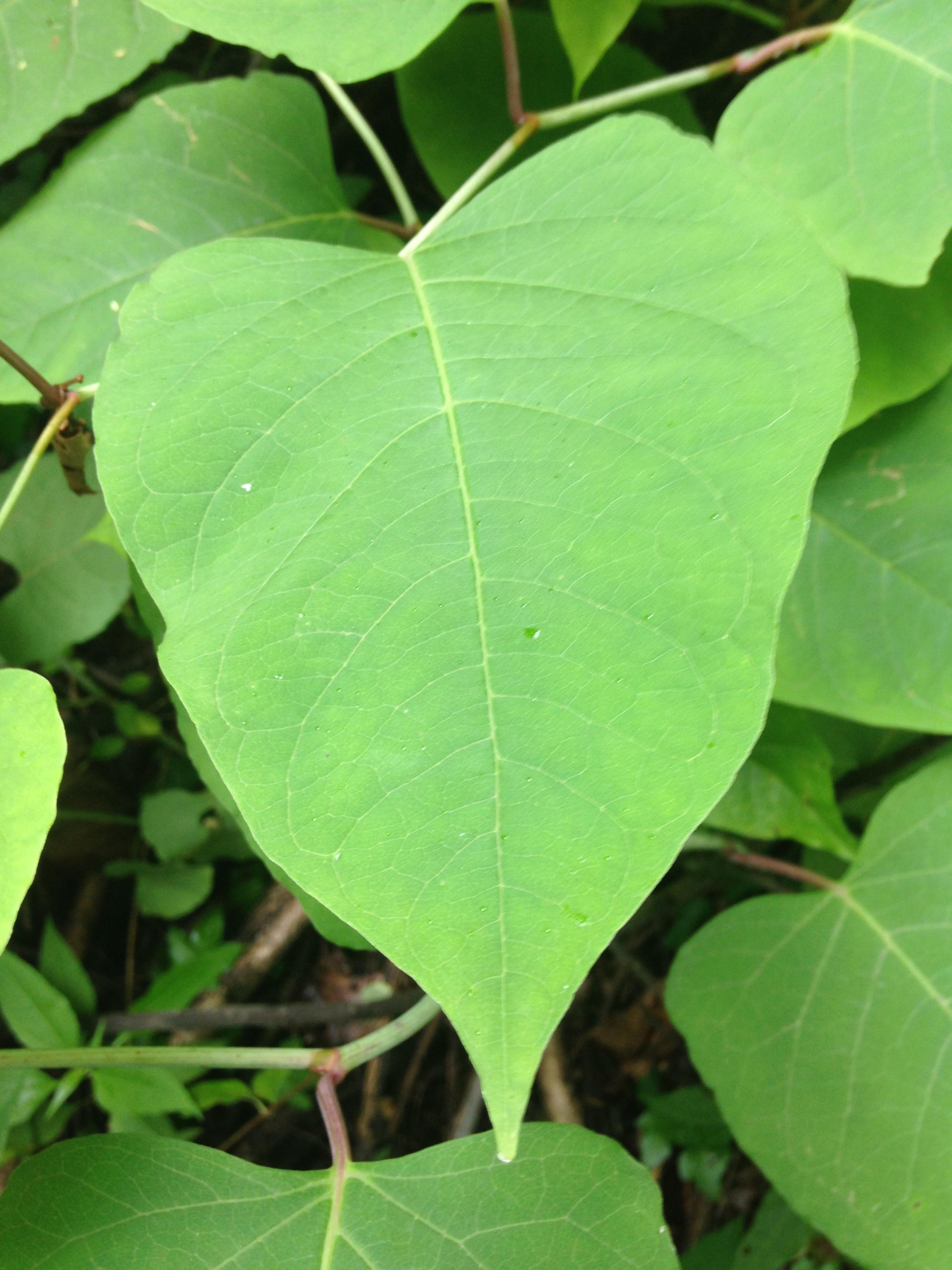 Japanese Knotweed Botany Field Notebook