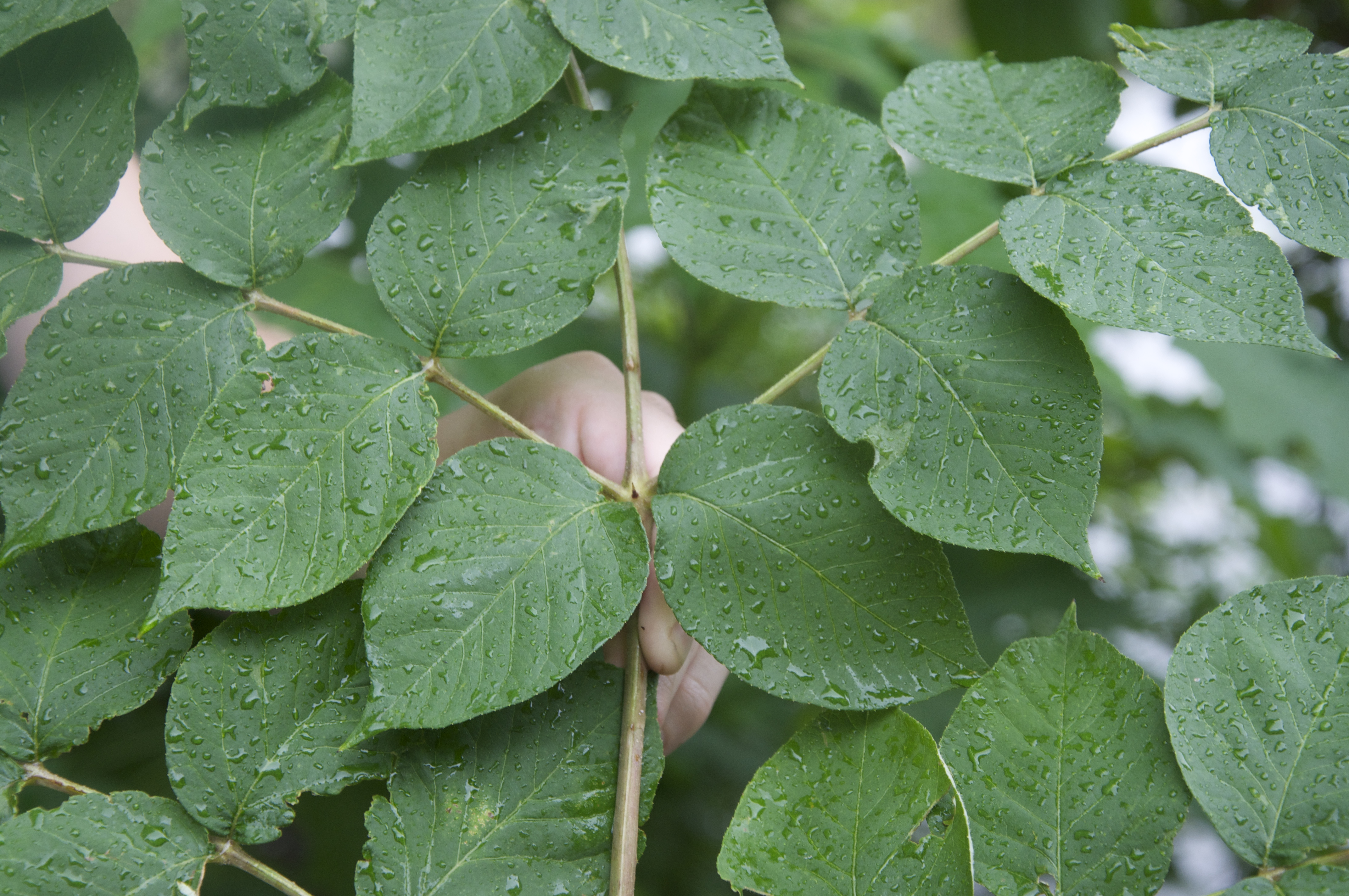 Bipinnately Compound Leaf Pictures