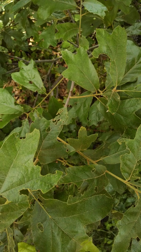 Water oak vcu field botany official site