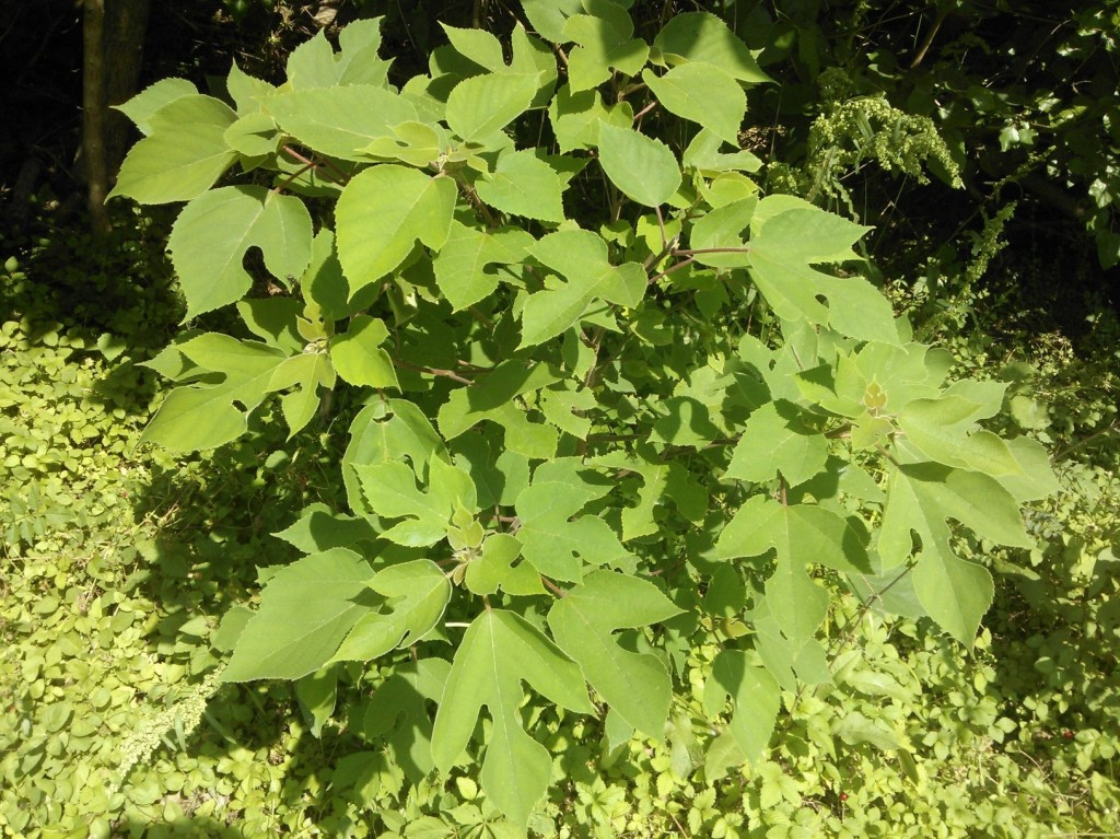 Paper Mulberry Texas