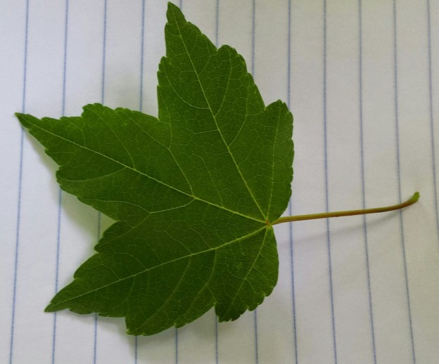 Red Maple – VCU Field Botany **Official Site**