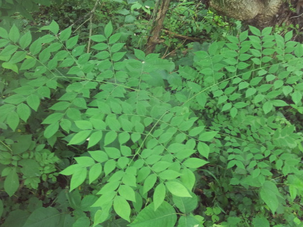 compound leaves – VCU Field Botany **Official Site**