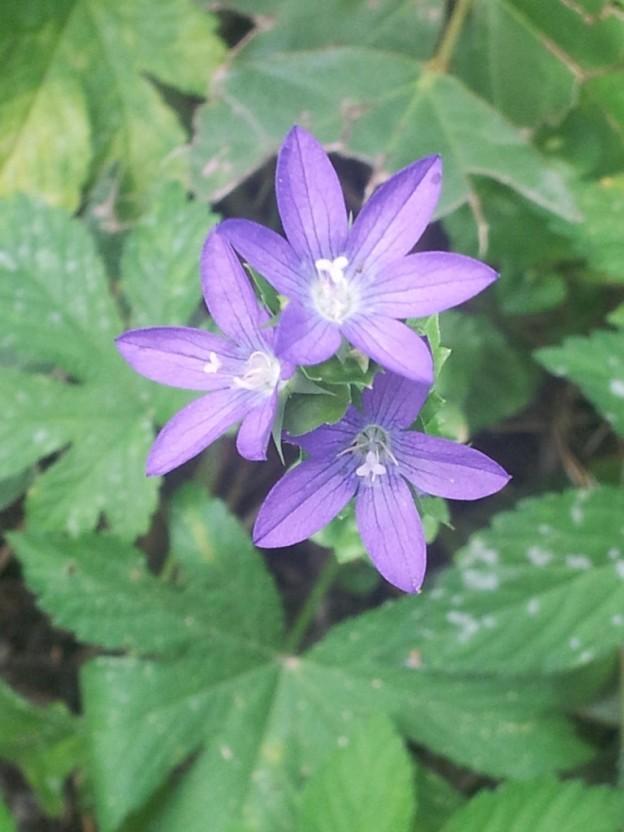 Purple Vcu Field Botany Official Site