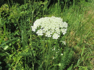 White vcu field botany official site queen annes lace mightylinksfo