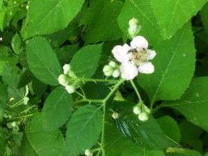 White vcu field botany official site sandy dry soilmoist stems green thorns leaves palmately compound leaflets five or seven pinnately veined flowers flowering in mightylinksfo Image collections