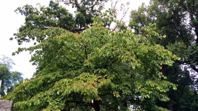 Cornus Florida Flowering Dogwood Tree