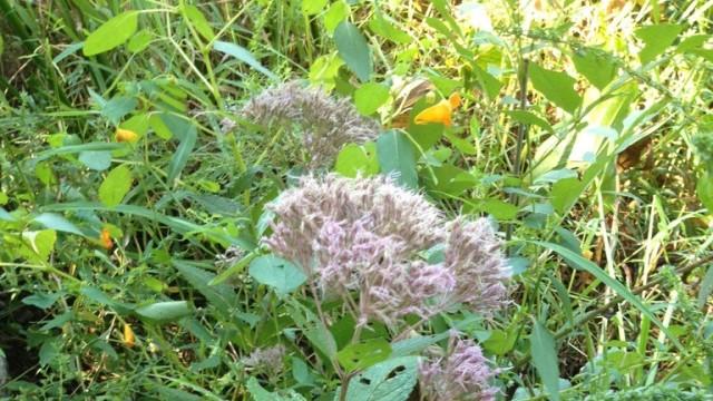Purple vcu field botany official site eastern joe pye weed mightylinksfo