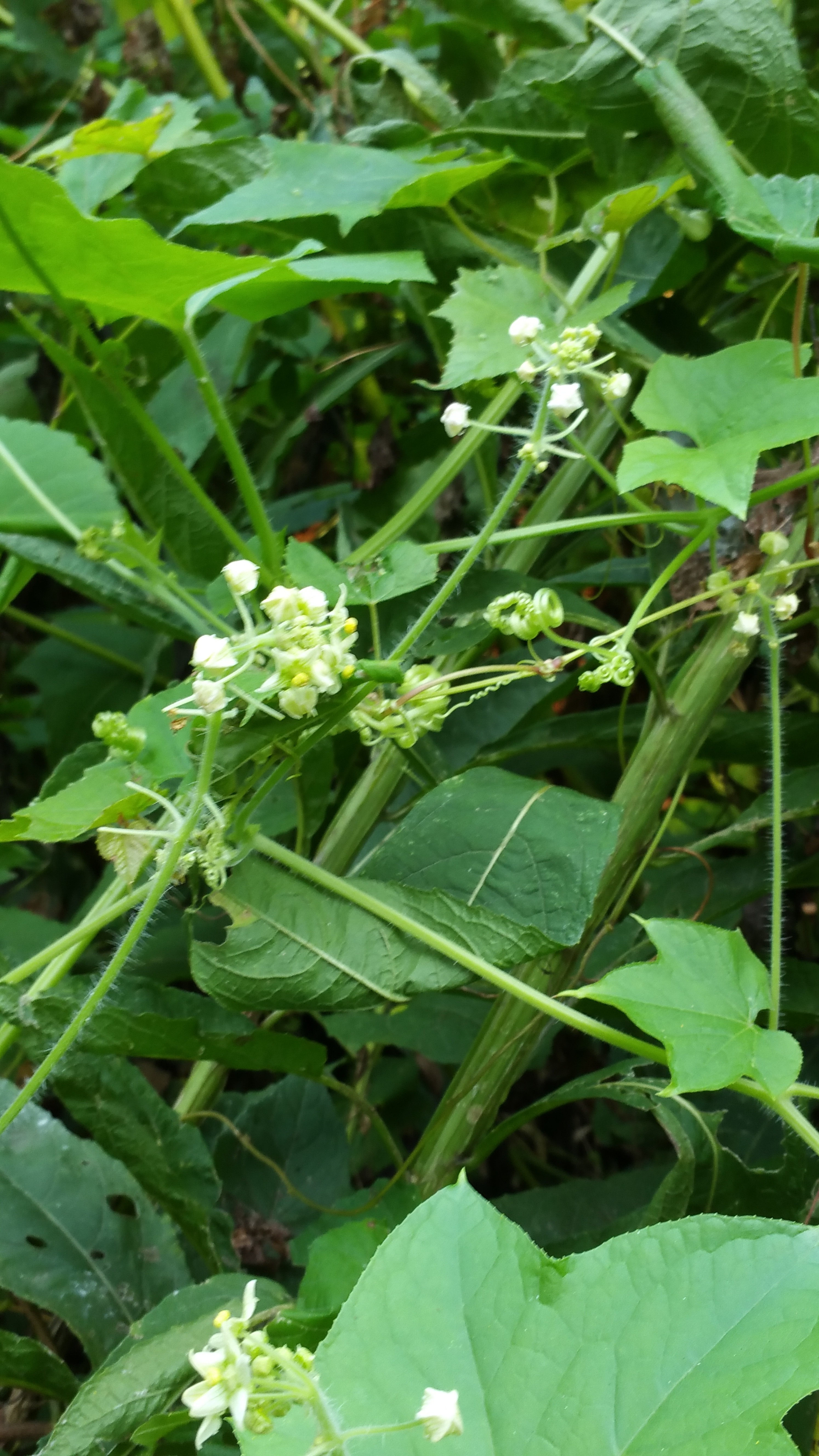 Possesses Small White Flowers That Form A Green Fleshy Fruit Eventually Ripens To Purple Containing Crescent Shaped Seed