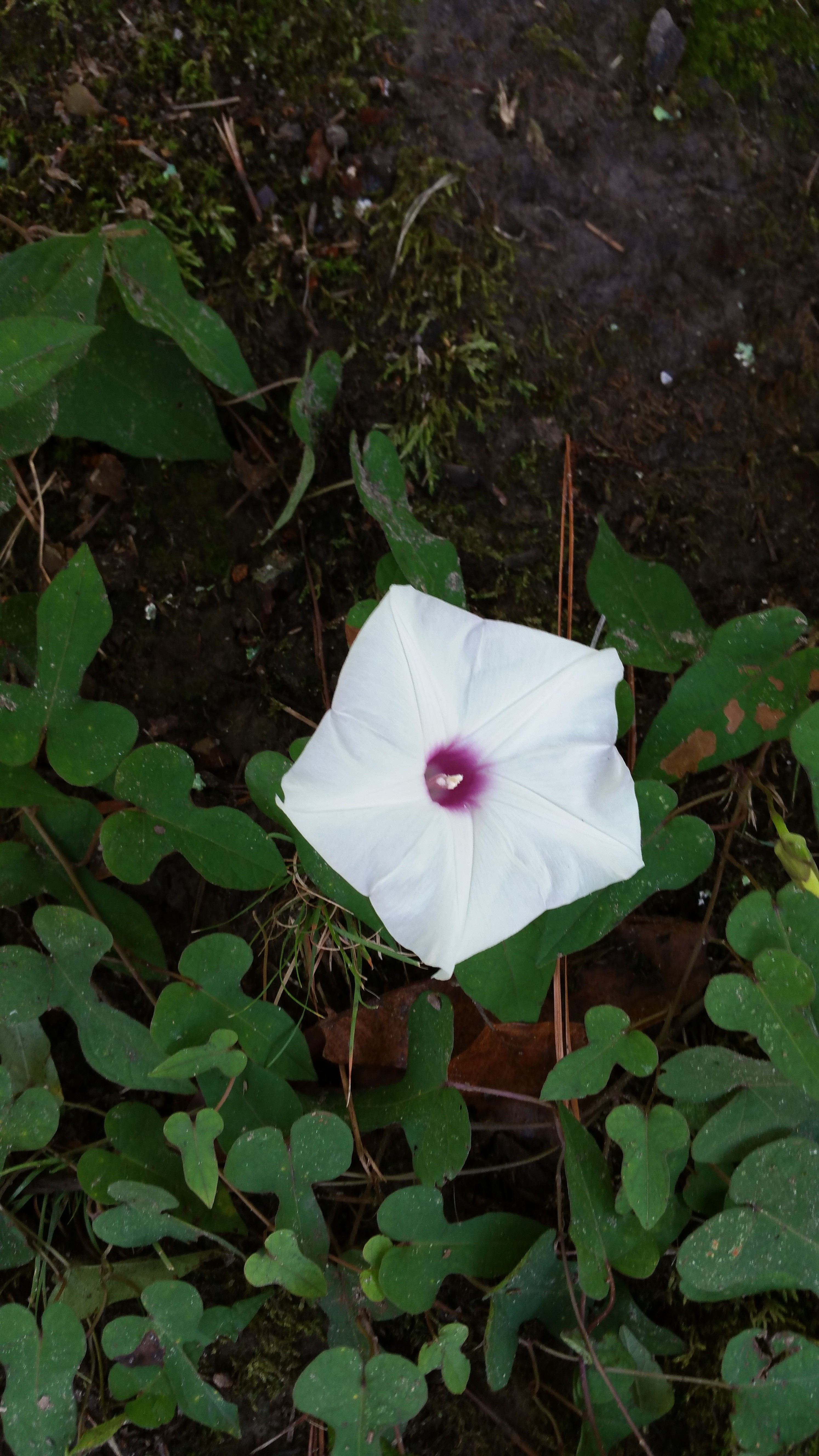 Wild potato vine aleksanders quest for botanical mastery the wild potato grows large 5 part flowers at the end of vines with the individual petals fused into a single funnel like structure the flower is white mightylinksfo