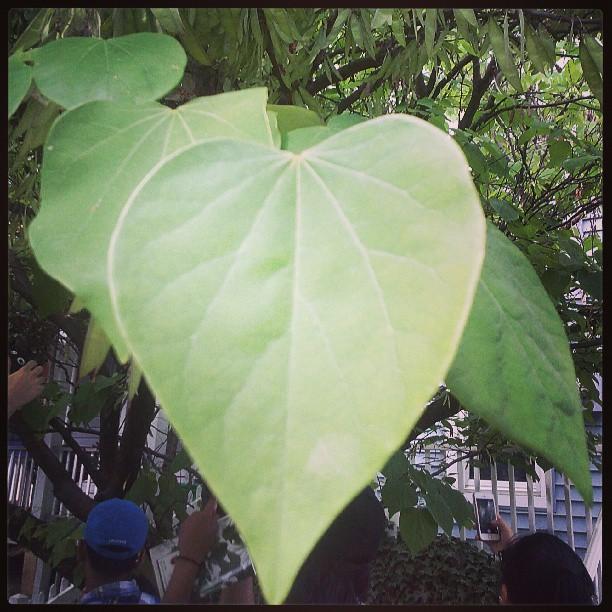 Day 1 tree 1 eastern redbud oregon hill rva fbcourse15 er leaf mightylinksfo