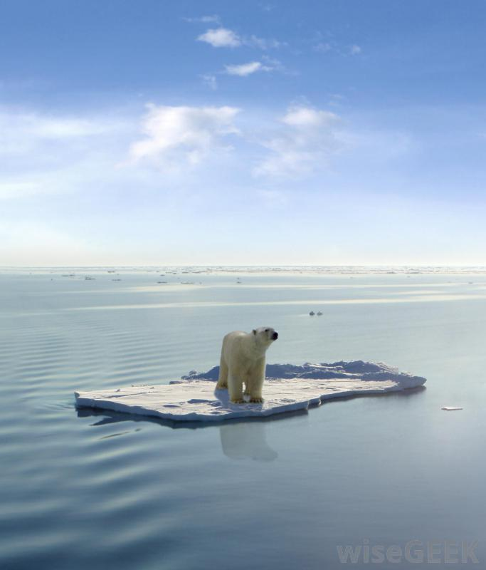 global warming effects on polar bears essay Free essays climate change effect on polar bears some of the highest degrees of global warming effects have been on the polar regions of the world.