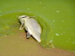 Lake Erie algal blooms, August 2011