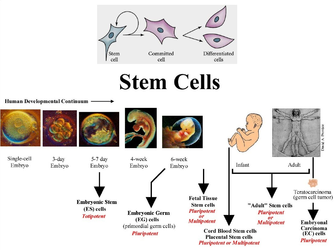 stem cell s could be the answer renee s portfolio this shows the the two separate ways researchers create stem cells on the right on