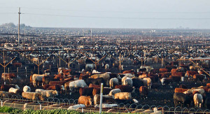 nasty-congested-feedlot-of-cows