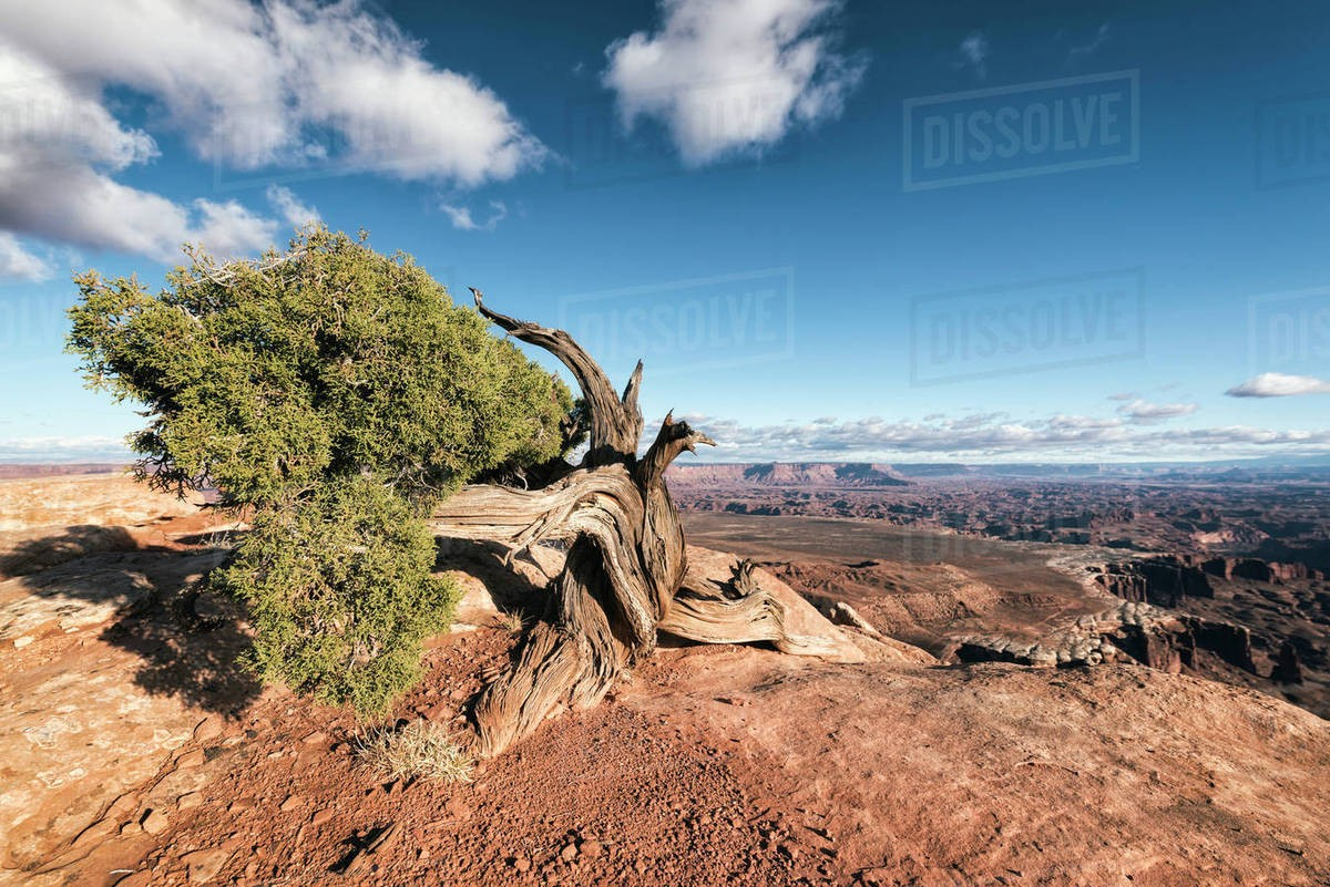 Tree in desert, Moab, Utah, United States Royalty-free stock photo