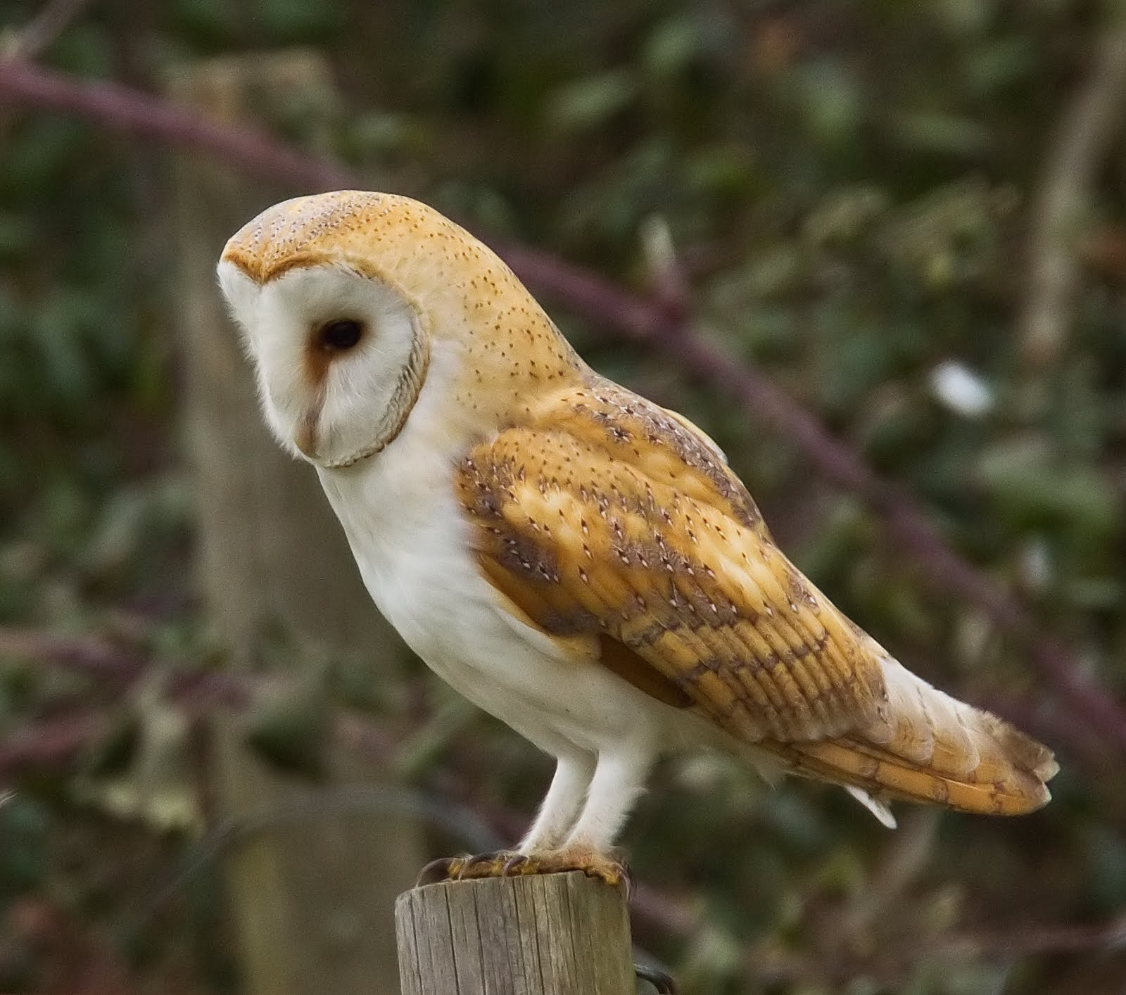 Barn Owl | Ornithology Lecture and Lab