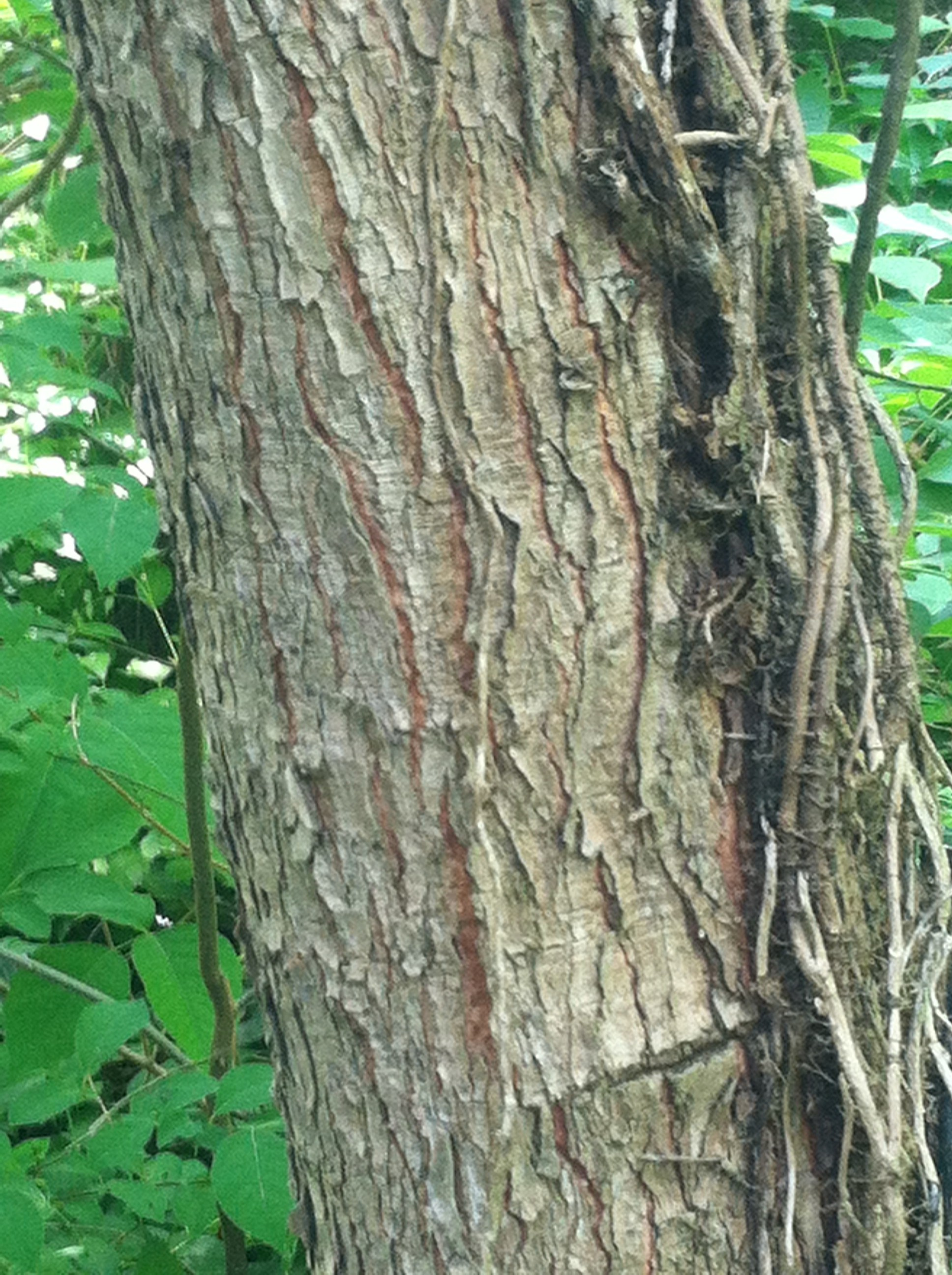 Day 10: Kentucky Coffeetree – VCU Field Botany **Official Site**