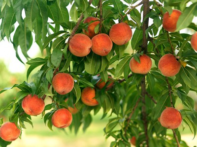 how to cut a peach tree
