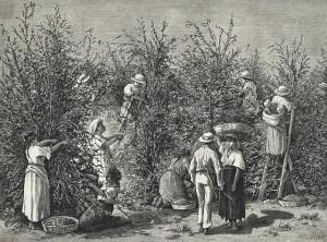 Original caption: Coffee growing. 1880 Costa Rica, Central America
