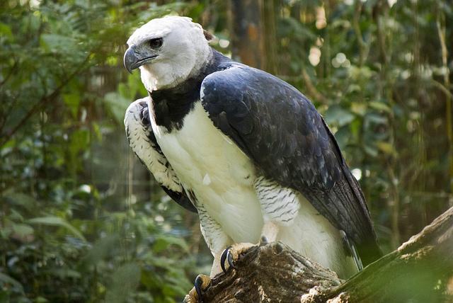 harpy eagle lonna yim